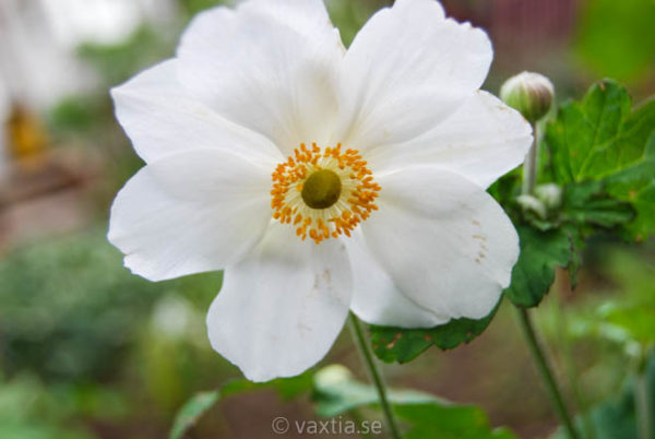 Anemone hybrida 'Honorine Jobert'-2068
