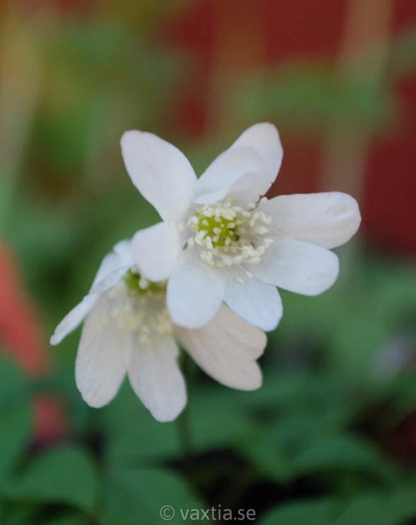 Anemone altaica-0