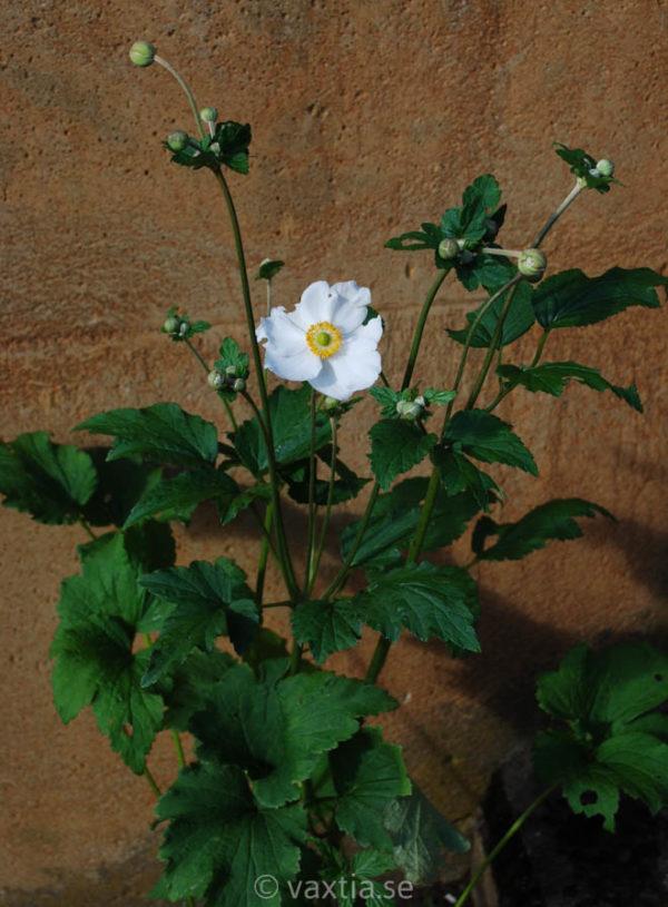 Anemone hybrida 'Honorine Jobert'-1810