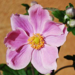 Anemone hybrida 'Königin Charlotte' -0