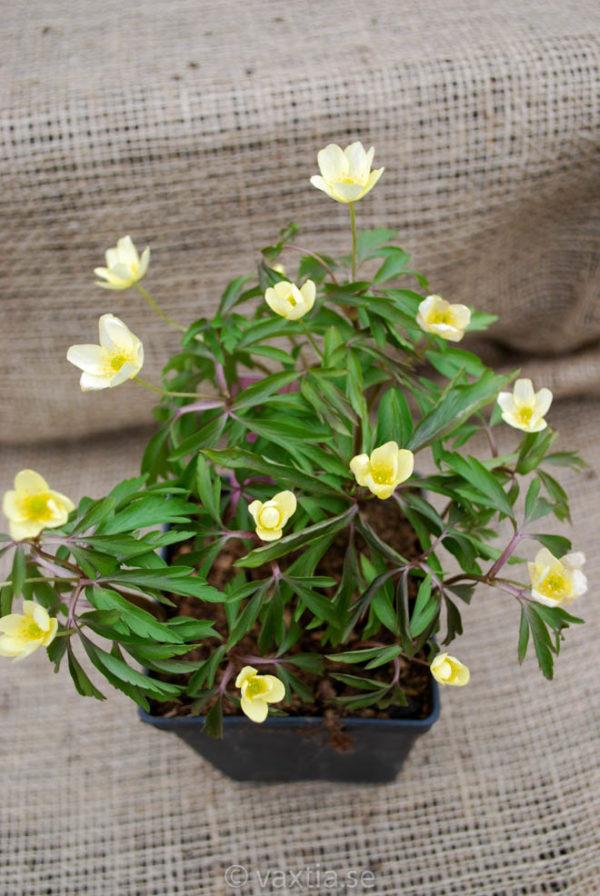 Anemone lipsiensis-0