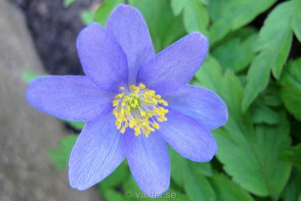 Anemone nemorosa 'Robinsoniana'-0