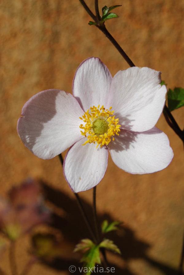 Anemone tomentosa 'Robustissima'-0