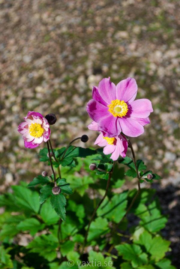 Anemone tomentosa 'Serenade'-463