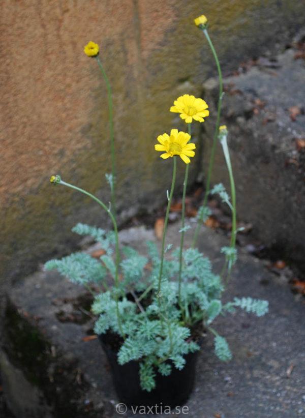 Anthemis marschalliana-0