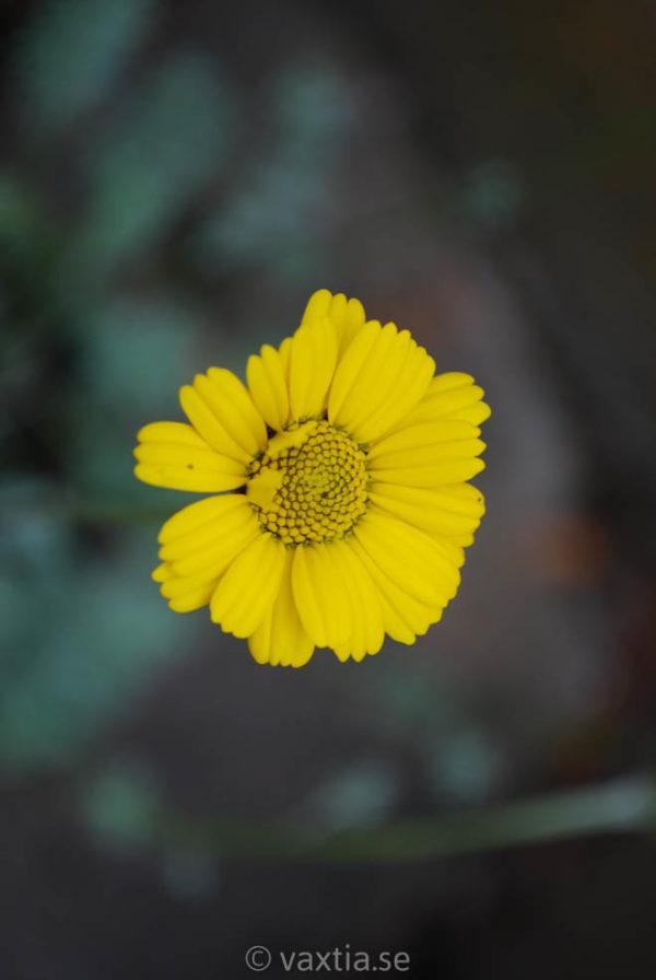 Anthemis marschalliana-959