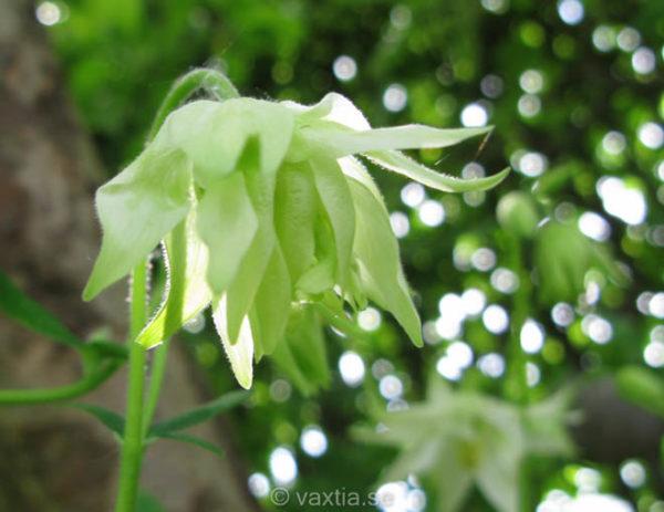 Aquilegia vulgaris 'Green Apples'-0