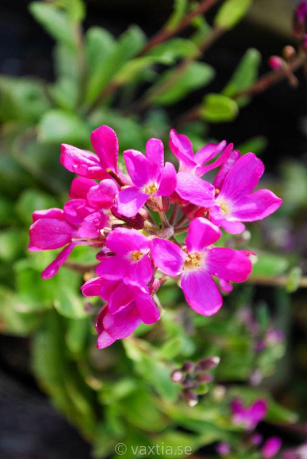 Arabis blepharophylla 'Frühlingszauber'-0