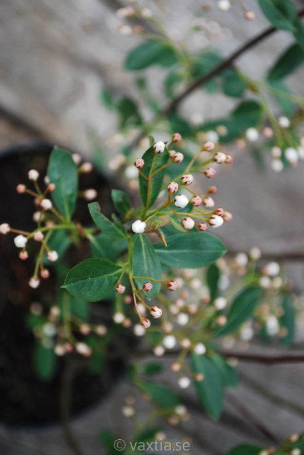 Aronia melanocarpa 'Hugin'-867
