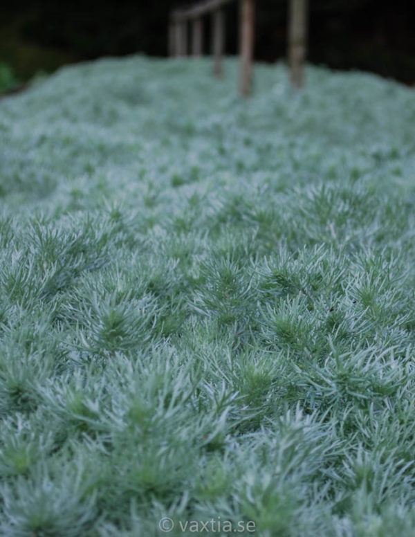 Artemisia schmidtiana 'Nana'-0