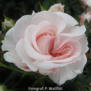 'Aspirin Rose' (Floribunda)-0