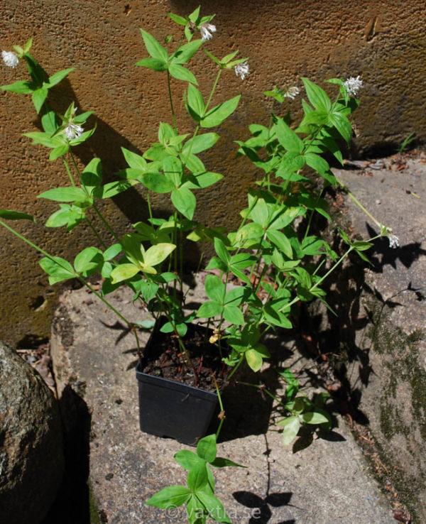 Asperula taurina-1524