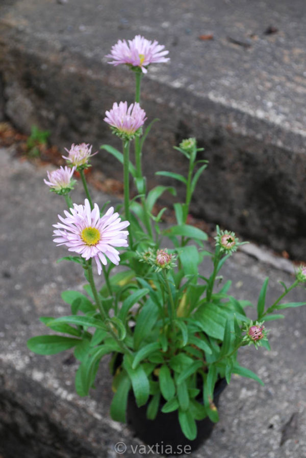 Aster alpinus 'Happy End'-1002