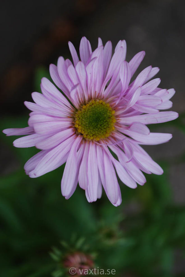 Aster alpinus 'Happy End'-0