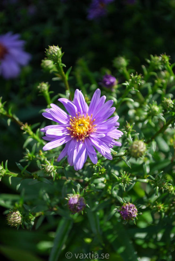 Aster dumosus 'Early Blue'-0