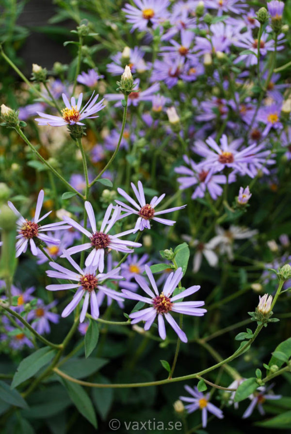 Aster macrophylla 'Twilight'-0