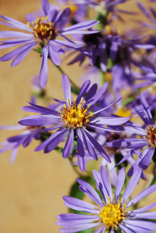 Aster macrophylla 'Twilight'-1827