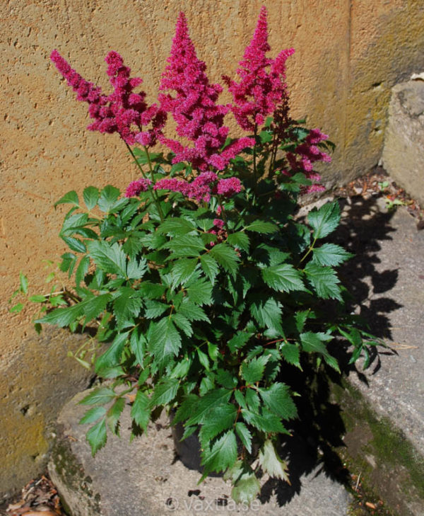 Astilbe arendsii 'Fanal'-1575