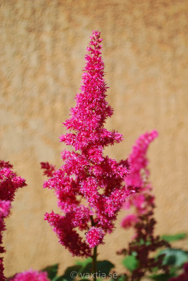Astilbe arendsii 'Fanal'-0