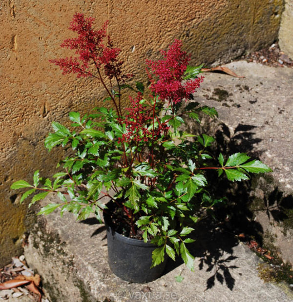 Astilbe japonica 'Red Sentinel'-1631