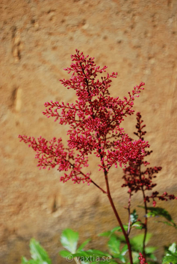 Astilbe japonica 'Red Sentinel'-1630