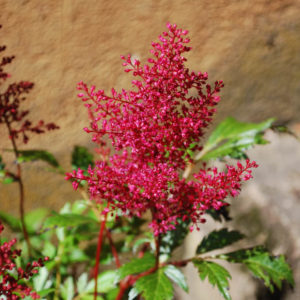 Astilbe japonica 'Red Sentinel'-0