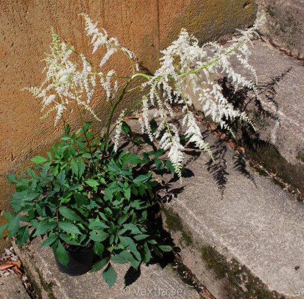 Astilbe 'Rock and Roll' -1626