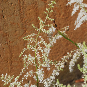 Astilbe 'Rock and Roll' -0