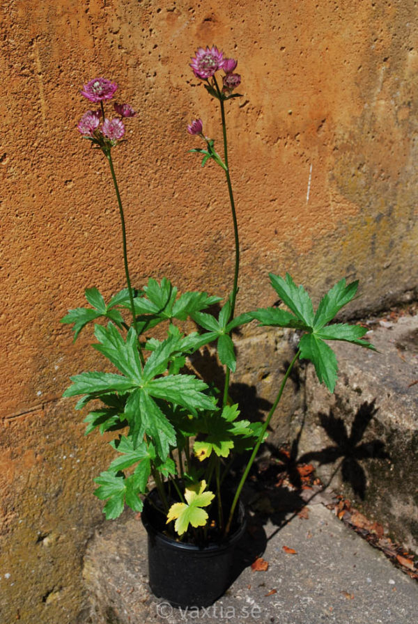 Astrantia major 'Star of Beauty' -1472