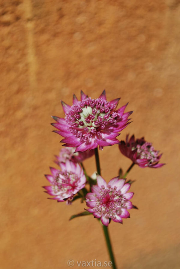 Astrantia major 'Star of Beauty' -0