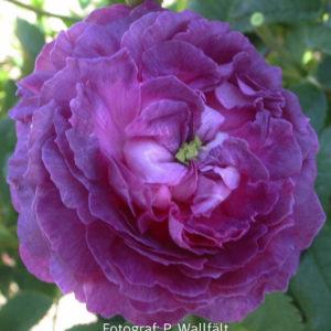 'Belle de Crécy' (R. gallica) -0