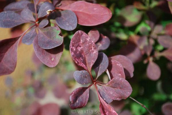 Berberis thunbergii 'Rose Glow'-1053