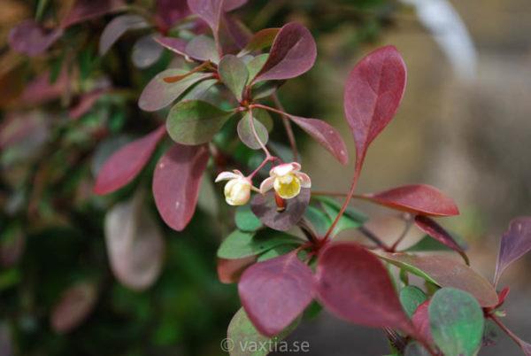 Berberis thunbergii 'Rose Glow'-0