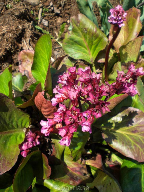 Bergenia cordifolia 'Rotblum'-0