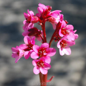 Bergenia 'Pink Dragonfly'-0
