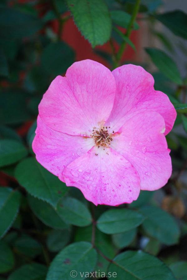 'Betty Prior' (Floribunda)-0