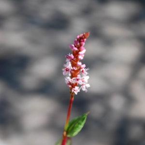 Bistorta (Persicaria) affinis 'Darjeeling Red'-0
