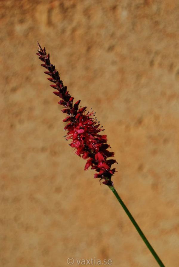 Bistorta (Persicaria) amplexicaule 'Blackfield'-0