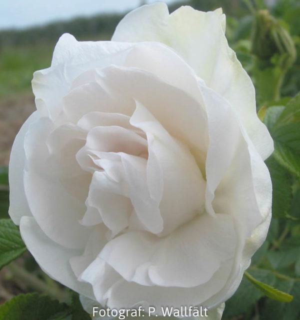'Blanc Double de Coubert' (R. rugosa)-0