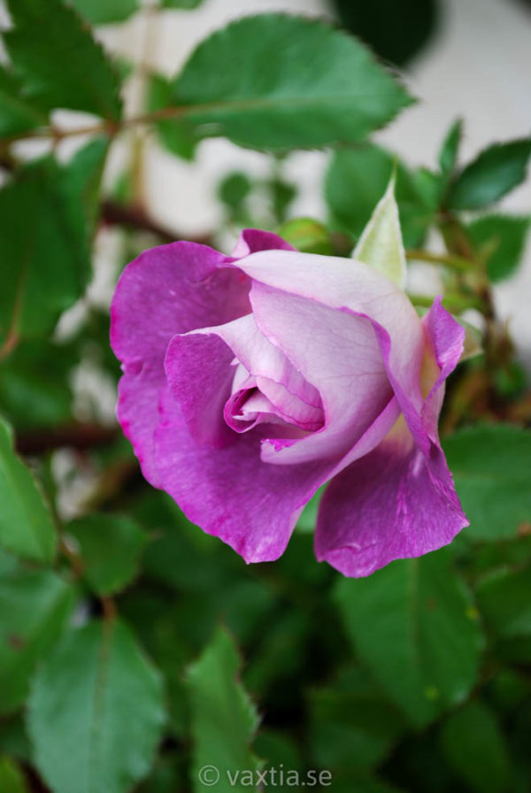 'Rhapsody in Blue' (Floribunda)-478