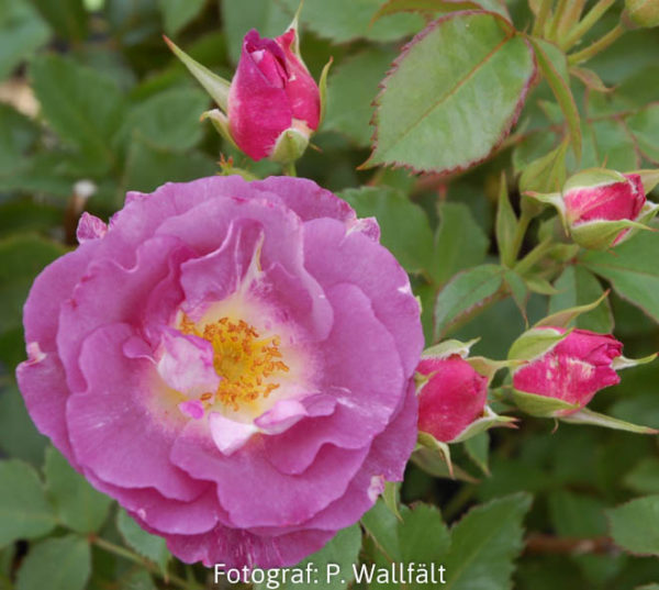 'Blue for You' (Floribunda)-0