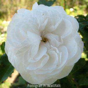 'Boule de Neige' (Rosa x bourboniana)-0