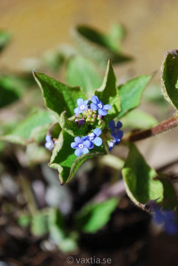 Brunnera macrophylla-0