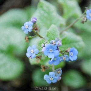 Brunnera macrophylla 'Jack Frost' -0