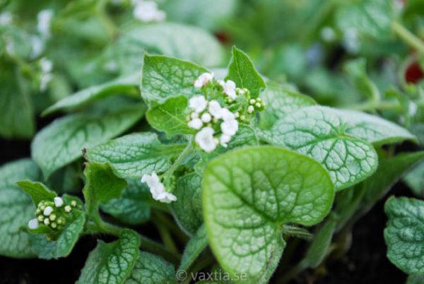 Brunnera macrophylla 'Mr. Morse'-0