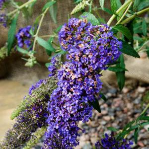 Buddleja 'Buzz Violet' -0