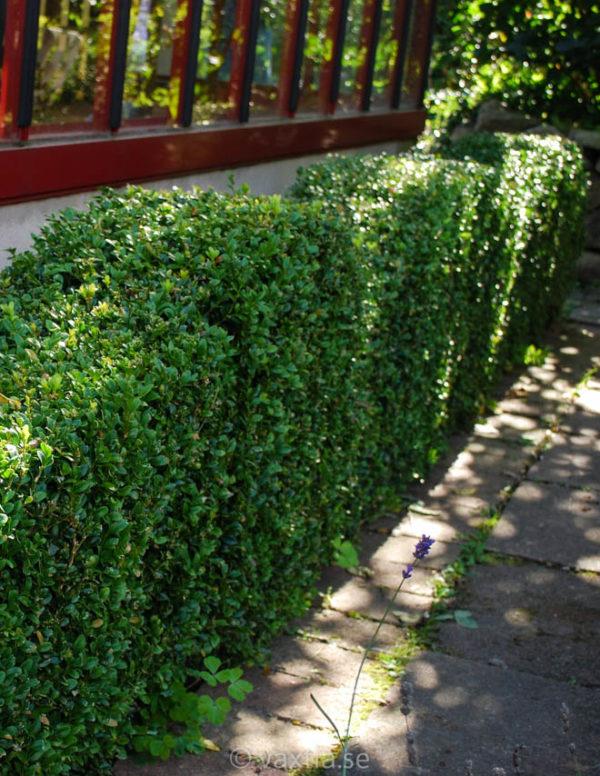 Buxus sempervirens arborescens-62