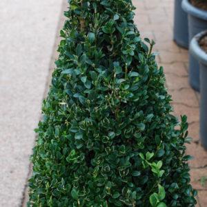 Buxus sempervirens arborescens-0