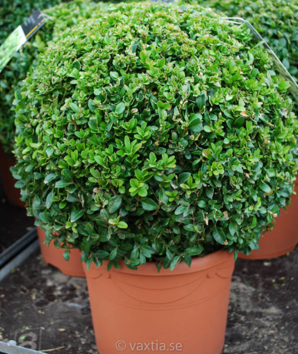 Buxus sempervirens arborescens-61