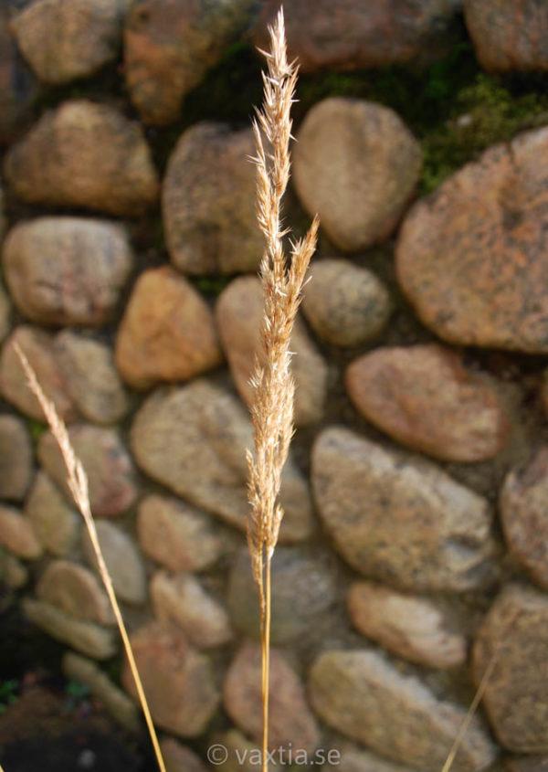 Calamagrostis acutiflora 'Karl Foerster' -1977